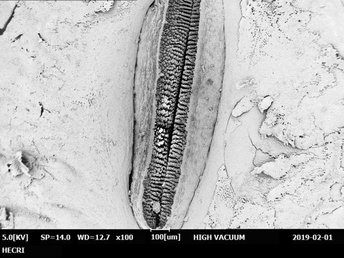 대왕박각시 번데기 제 3배마디 숨구멍 바깥 면