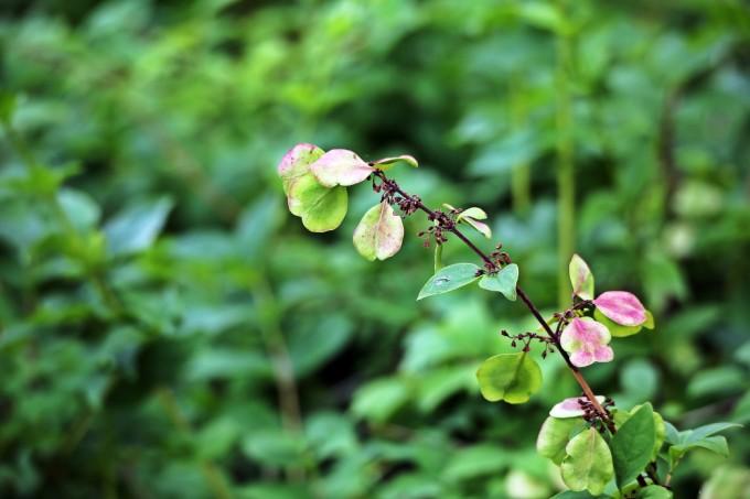 미선나무 열매의 모습. 열매의 형태가 한국 전통 부채인 ′미선′의 모습을 닮았다 하여 미선나무라는 이름이 붙었다. 국립공원공단 제공