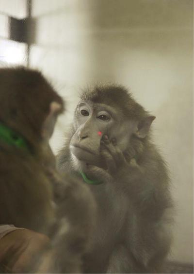 원숭이도 훈련을 받으면 거울을 이해할 수 있다는 사실이 2015년 밝혀졌다. 붉은털원숭이가 거울에 비친 자신의 얼굴을 보고 붉은빛 레이저빔이 쏘인 자리 부근을 만지고 있다. '커런트 바이올로지' 제공