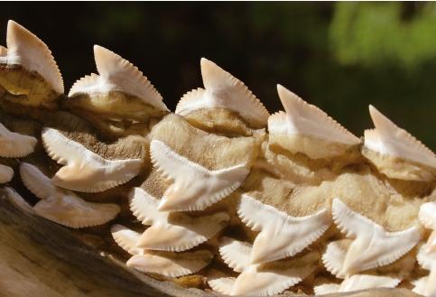 상어는 이빨이 하나 빠지면 컨베이어벨트처럼 뒷줄에서 새로운 이빨이 올라와 빈 자리를 차지한다.