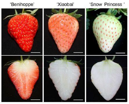 수많은 딸기 품종 가운데는 과일의 빨간색이 연하거나(가운데) 거의 없는(왼쪽) 종류도 있다. 이는 빨간 색소인 안토시아닌 합성에 관여하는 유전자의 돌연변이 때문으로 밝혀졌다. 사이언티픽 리포트 제공