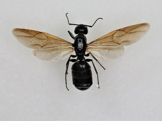 짝짓기 전 여왕개미 날개(일본왕개미)