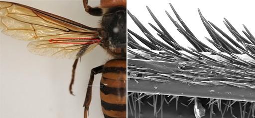 장수말벌과 장수말벌 날개 갈고리 확대(SEM)