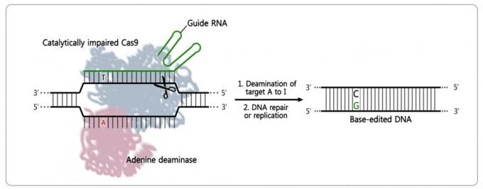 아데닌 염기교정 가위의 원리를 설명했다. 먼저 원하는 DNA 두 가닥 가운데 한 가닥을 자른다(가위 그림). 나머지 DNA 가닥은 자르지 않은 채 남겨두고, 바꾸고 싶은 아데닌 염기를 살짝 변형시킨다(그림의 빨간 A를 I로 구조를 변형). 이후 세포가 DNA를 수리하면서 A가 변형된 I를 보고 G(구아닌)으로 바꿔 복원한다. 사진 제공 IBS