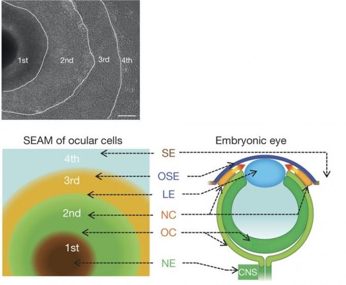 사람의 유도만능 줄기세포를 40일 동안 배양시킨 사진(위). 각 부분이 각막과 수정체, 망막세포 등으로 분화한다(아래). 각기 다르게 분화하는 부분을 색깔로 구분했다. 네이처 제공