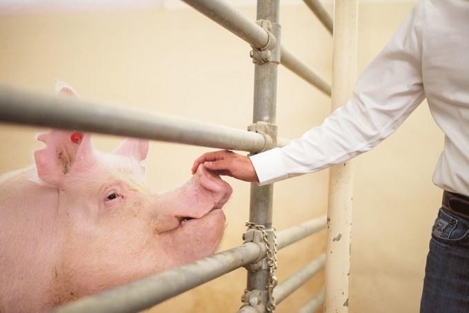 존 오틀리 교수팀이 유전자 편집으로 만들어낸 ′대리부′ 돼지(돼지 135). 좋은 형질을 가진 정자 생산 줄기세포를 이식해 좋은 정자를 대량 생산하기 위해 만들었다. 워싱턴주립대 제공