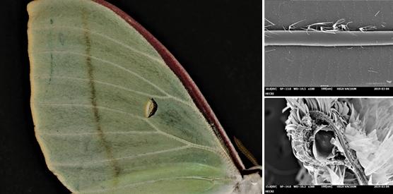 옥색긴꼬리산누에나방 시맥, 시맥외부(오른쪽 위)와 내부 SEM 촬영본