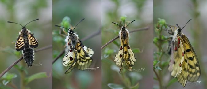 붉은점모시나비 날개 펴는 과정