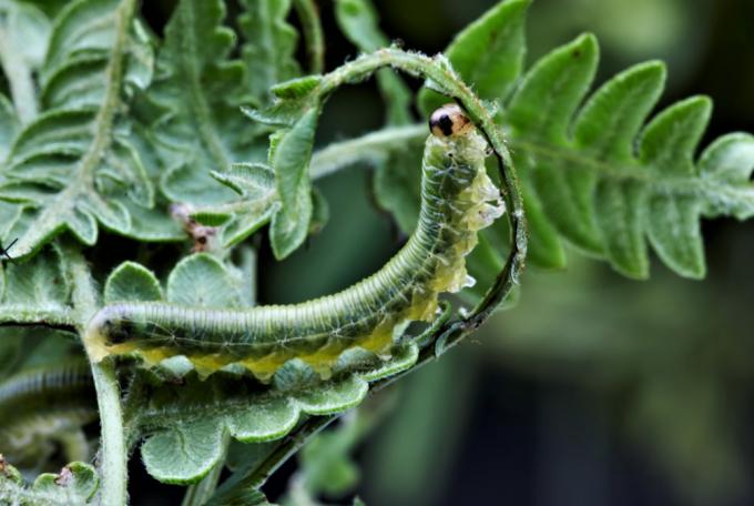 고사리 먹는 잎벌 애벌레