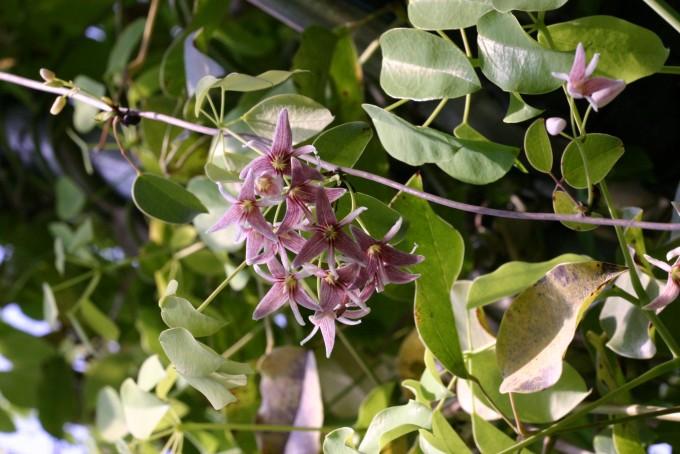'조선식물향명집'의 저자들은 야인과(野人瓜)라는 일본식 이름 대신 멀꿀이라는 우리말 이름을 붙였다. 사진 제공 국가생물종지식정보시스템