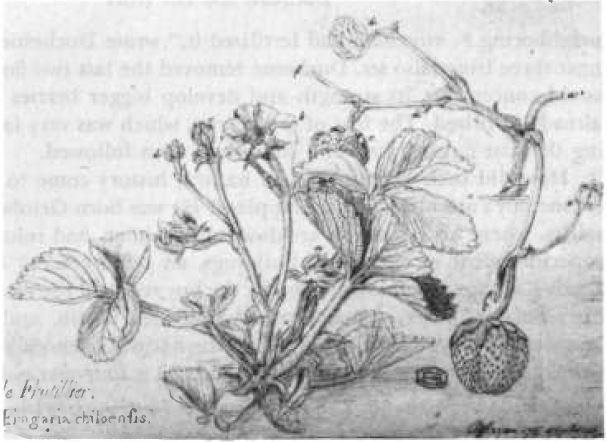 1764년 프랑스의 식물학자 앙투안느 니콜라 뒤셴은 자웅이체로 암그루만 있어 열매를 맺지 못하는 칠레딸기의 꽃 암술에 사향딸기의 꽃가루를 묻혀 열매를 얻는 데 성공했다. 당시 뒤셴이 직접 그린 그림으로 오른쪽 아래 큼직한 딸기가 보인다.