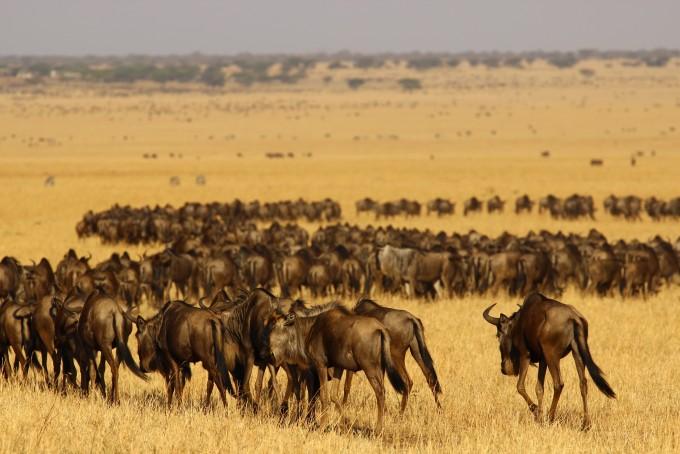 세렝게티에서 초식동물 윌더비스트 무리가 이동하고 있다. 이들의 움직임이 국립공원 경계부 인간 활동으로 방해 받고 있다는 사실이 연구 결과 드러났다. 사진제공 제임스 프로버트