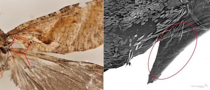 박쥐나방 날개걸이와 날개걸이 확대(SEM)