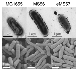 정상 대장균(왼쪽)과 연구팀이 게놈에서 불필요한 유전자를 제거해 개발한 합성 대장균(가운데), 실험실에서 인공적으로 진화시켜 성장속도를 높인 합성대장균(오른쪽)을 확대한 모습이다. 사진 제공 네이처 커뮤니케이션스