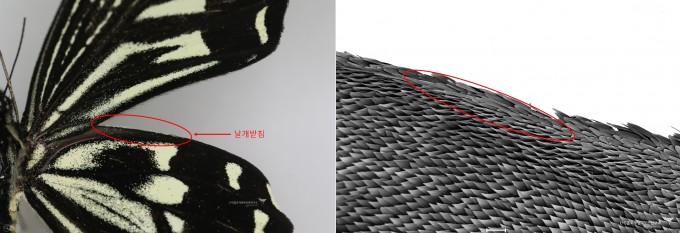 호랑나비와 호랑나비 날개 뒷날개 확대(SEM)