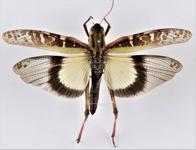 콩중이(메뚜기목)