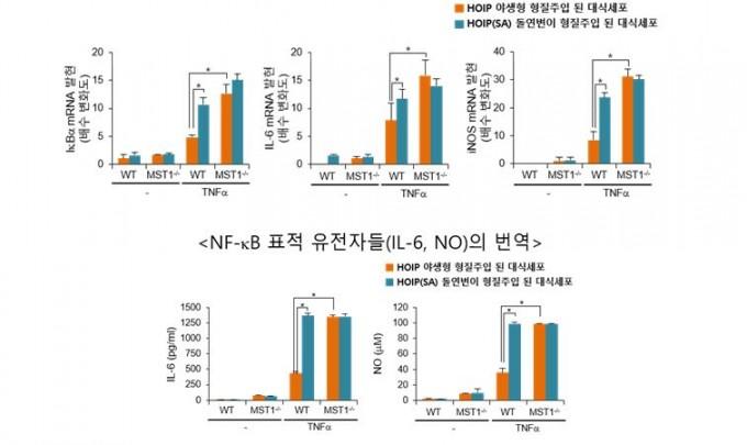 MST1가 NF-κB 신호 전달 경로에 미치는 영향을 표로 나타냈다. 생쥐에서 유래한 대식세포에 TNFα를 처리해 염증반응을 유도했다. MST1이 결핍된 세포에서는 NF-κB 표적 유전자들의 전사/번역이 높게 나타났다. 이를 통해 MST1이 NF-κB 신호전달계를 제어할 수 있음을 규명했다. 한국연구재단 제공