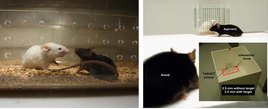 스트레스로 인해 우울증을 느끼는 개인차가 유전자에 있음이 국내 연구팀에 의해 밝혀졌다. 장기 사회패배 스트레스를 받은 쥐의 유전자를 분석해 얻은 결과다. 한국뇌연구원 제공