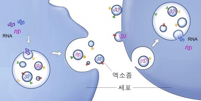 세포가 엑소좀을 만들어 내보내 세포끼리 교신하는 과정을 그린 일러스트. Journal of Cell Biology 제공
