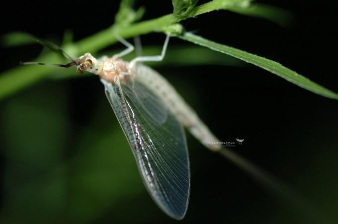 현존하는 가장 오래된 곤충인 하루살이목(동양하루살이)
