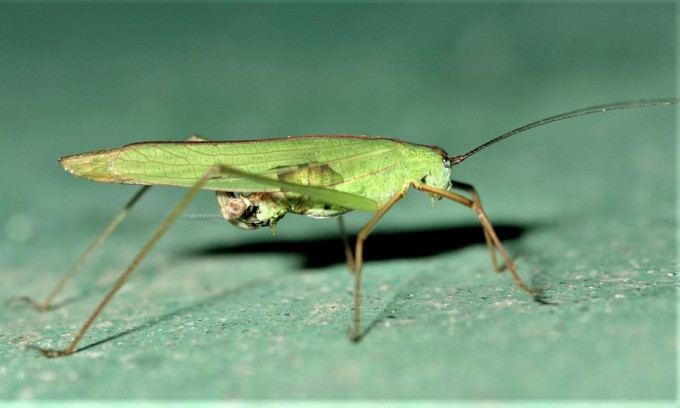 날개가 직선으로 뻗은(Ortho) 날개를 가진 메뚜기목(큰실베짱이)