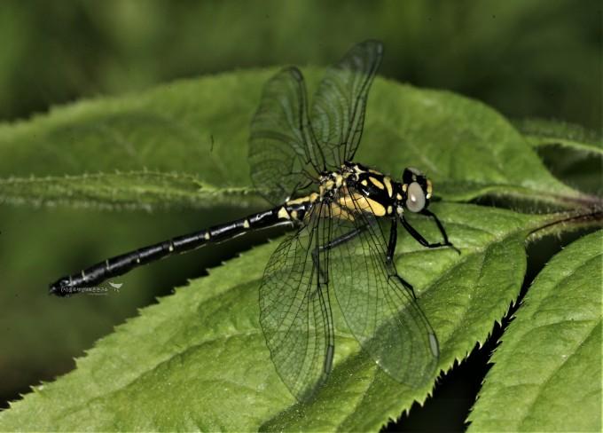 9.현존하는 가장 오래된 곤충인 잠자리목(검정측범잠자리)