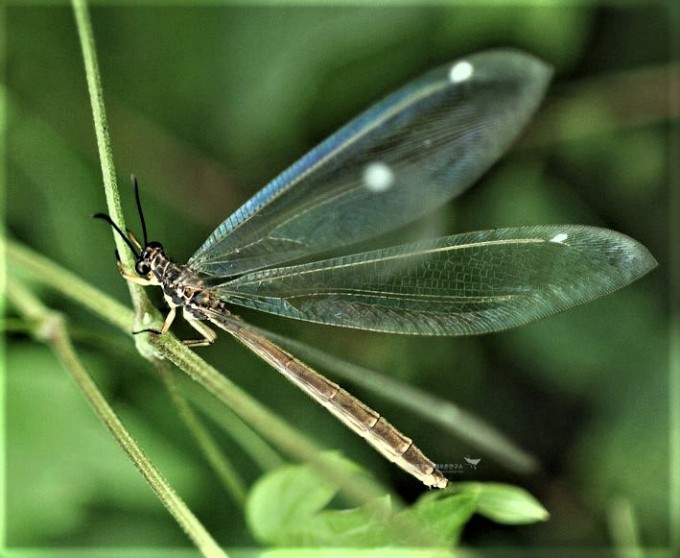 그물 모양 신경 세포 같은(Neuron) 날개를 가진 풀잠자리목(명주잠자리)