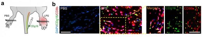 동맥경화에 걸린 실험쥐를 제작하고, 실험쥐의 꼬리를 통해 CDg16을 주사했다(a). 실험쥐의 발에서 CDg16과 활성화 대식세포 마커인 CD86 항체가 동시에 염색됐다. 사진 제공 IBS