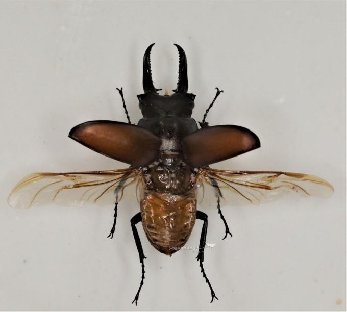 딱정벌레목 다우리아사슴벌레