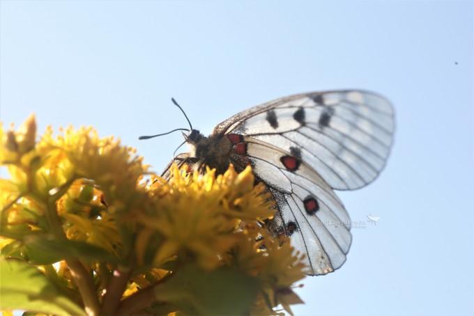 붉은점모시나비. 멸종위기종Ⅰ급이며 전 세계적으로 보호받고 있는 나비다.