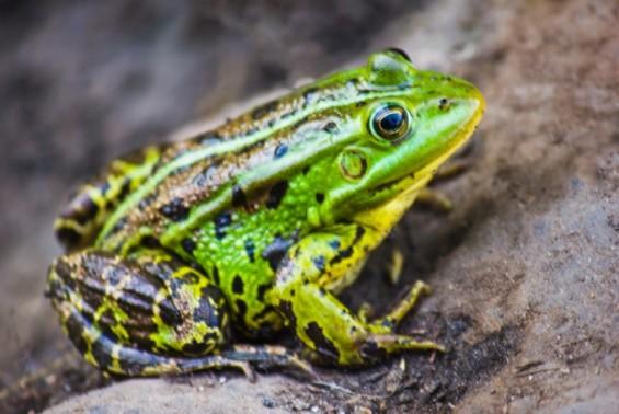 멸종위기 내몰리는 양서류, 원인은 진화하는 병균