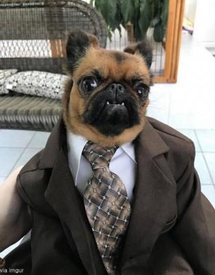 정장을 입은 강아지
