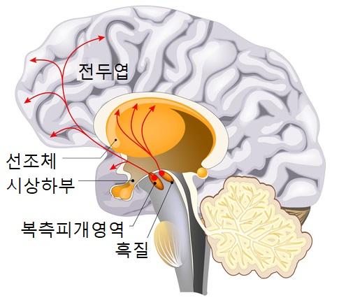 자극에 대해 쾌감을 느끼게 하는 보상회로. 쾌감을 느끼게 하는 신경전달물질 도파민은 복측피개영역(VTA)과 흑질에서 생산돼 감정 조절을 담당하는 선조체와  기억력, 사고력을 담당하는 전두엽 등으로 전달된다. 자극이 강하고 반복적이면 도파민에 내성이 생겨 결국 중독된다. 게티이미지뱅크 제공