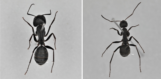 일본왕개미와 곰개미