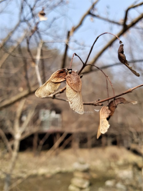 고로쇠나무 열매