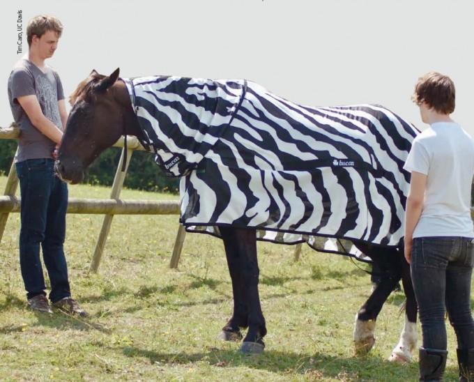 미국 데이비스 캘리포니아대 연구팀이 일반 말에 얼룩말 줄무늬 옷을 입힌 뒤 몸에 붙는 파리의 수를 조사하고 있다. Tim Caro, UC Davis 제공