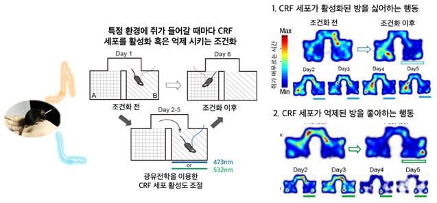 광유전학을 통해 시상하부 CRF 세포의 활성도를 인위적으로 조절할 수 있다. 활성도가 높아지자 해당 방에 들어가지 않고(오른쪽 위), 반대로 억제하자 들어가게 됐다(오른쪽 아래). 사진제공 KAIST