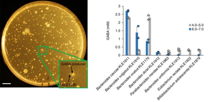 김기현 성균관대 교수팀은 신경전달물질 GABA를 성장인자로 삼는 장내미생물(KLE1738)을 이용해 GABA를 생산하는 장내미생물들을 발견했다(왼쪽). 주로 박테리오데스 류가 GABA를 많이 생산한다는 사실이 밝혀졌다(오른쪽). 네이처 마이크로바이올로지 제공