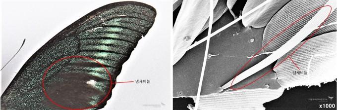 산제비나비 앞날개 냄새비늘과 앞날개 냄새비늘(SEM)