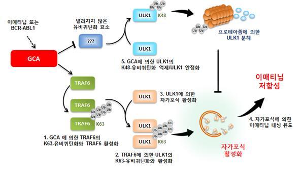 연구진은 실험 결과 연구팀은 GCA 단백질이 여러 과정을 거쳐 결국 ′세포의 자가포식′ 현상을 활성화시킨 결과 이매티닙 성분에 대한 내성을 유도한다는 사실을 알아냈다. 세포의 자가포식이란 세포 안에 쓸모없는 성분을 스스로 제거해 에너지를 얻는 현상을 말한다. 즉, 지속적으로 약을 복용해도 결국 암세포가 약 성분을 없애면서 생존하는 셈이다. 서울성모병원 제공