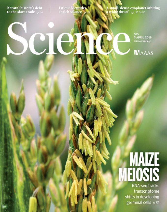 미국 스탠퍼드대 연구팀은 옥수수 수꽃을 관찰해 세포단위에서 개별적으로 복잡한 단계를 거쳐 생식세포(꽃가루)를 만들어낸다는 사실을 알아냈다. 사진 브래드 넴스, 사이언스 제공