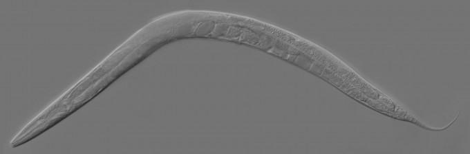 브레너 박사가 연구한 예쁜꼬마선충. 현재는 동물 신경 및 유전학, 발생학 연구에 널리 쓰인다. 사진제공 위키미디어