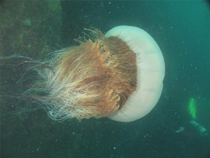 한반도에서 2000년대 이후 매년 늘고 있어 문제가 되고 있는 노무라입깃해파리. 크기 2m에 무게는 최대 200kg까지 나간다. 바다에서 사람이 독에 쏘이는 경우가 늘고 있다. 이번에 UNIST와 한국해양과기원 연구팀이 게놈을 처음으로 해독해 관련 특성 유전자를 밝혔다. 사진제공 한국해양과학기술원