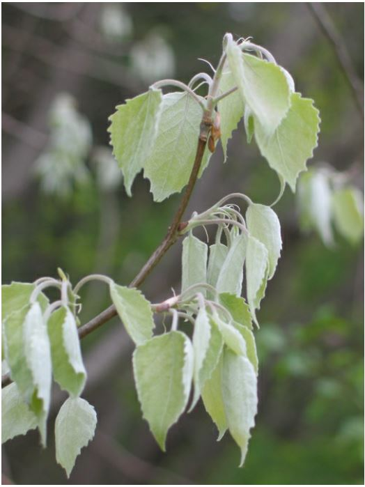 지난 160년 사이 지구온난화로 콩코드에 자생하는 낙엽수의 첫 잎이 나오는 시기가 야생화 개화 시기보다 평균 일주일 더 많이 당겨진 것으로 밝혀졌다. 이 계절불일치로 야생화가 꽤 타격을 입었다는 사실이 최근 밝혀졌다. 그란디덴타타포플러의 첫 잎이 나오는 때의 모습이다. Richard Primack 제공