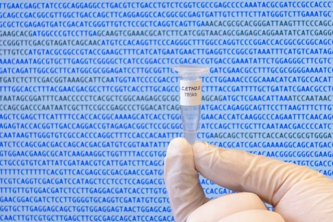마이크로튜브 안에는 이번에 합성한 카울로박터 에텐시스 2.0의 게놈이 들어 있다. 스위스 취리히 연방공과대, 조너선 베네츠 제공