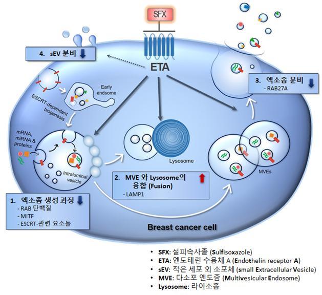 설피속사졸이 엑소좀 분비를 억제하는 원리. 설피속사졸이 엔도테린 수용체 A와 결합하면, ①엑소좀 생성 관련 인자가 감소하면서 ②다소포 엔도좀과(MVE)와 라이소좀의 융합이 증가한다. 또 ③엑소좀 생성량이 줄어든다. ④ 결국 세포 밖으로 분비되는 양이 줄어든다. 한국연구재단 제공