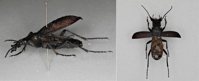 2쌍 날개를 붙여 앞날개가 벌어지지 않는 홍단딱정벌레와  뒷날개가 퇴화한 강원길쭉먼지벌레