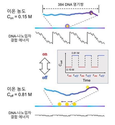 연구팀은 DNA에 유연성이 증가하는 구간을 반복 합성했다. 유연성이 증가하면 나노입자와의 결합력이 높아졌다(결합에너지 감소). 이를 이용하면 유연성이 증가하는 방향으로 입자를 이동시킬 수 있다. 이 때 용액의 이온 농도도 반복 조정해 DNA 반복 구간 사이의 입자 이동도 돕도록 했다. 사진제공 한국연구재단