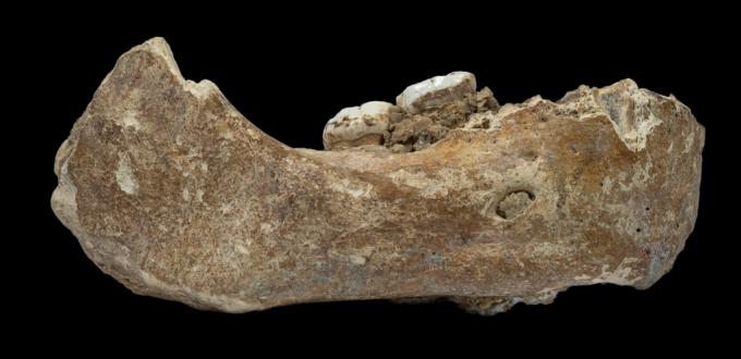 1980년대 티베트 지역에서 발굴된 고인류 턱뼈 화석. 단백질 연구 결과 데니소바인의 턱뼈임이 밝혀졌다. 사진제공 란저우대