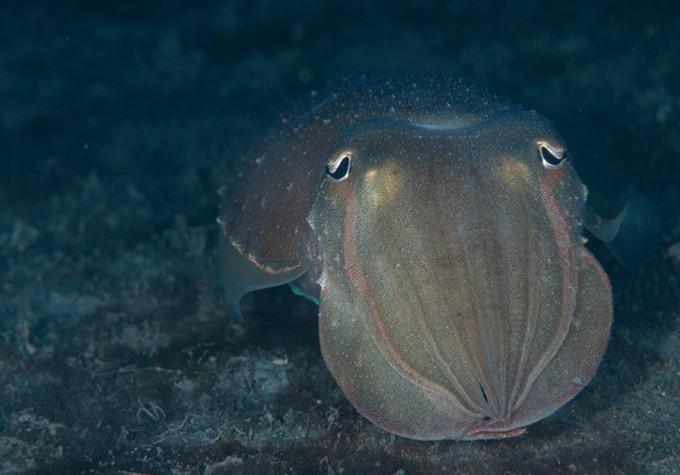선조들은 참갑오징어의 뼈를 갈아 상처에 발랐다. 뼛속의 탄산칼슘이 지혈에 도움이 되기 때문이다.Shigeru Harazaki 제공